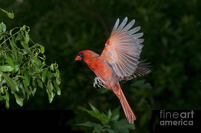Us Fauna Photograph - Northern Cardinal Male by Anthony Mercieca
