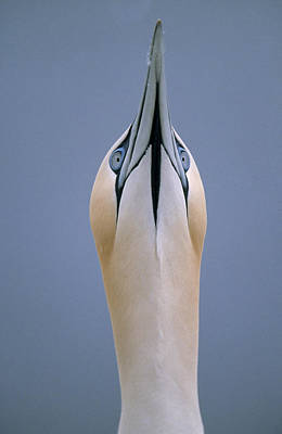 Northern Gannet Skypointing Print by Duncan Usher