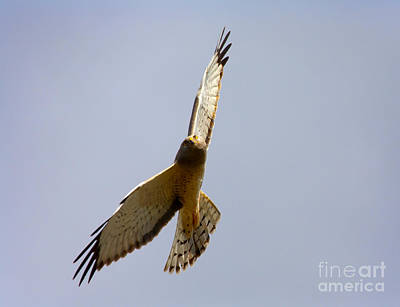 Hawk Photograph - Northern Harrier Banking by Mike  Dawson