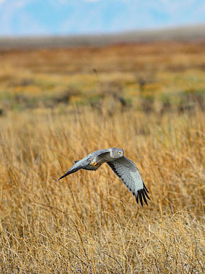 Hawk Photograph - Northern Harrier In Flight by Greg Norrell