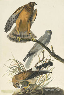 Heron Drawing - Northern Harrier by Celestial Images