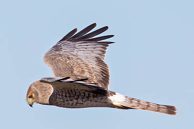 Northern Harrier Photograph - Northern Harrier by Natural Focal Point Photography