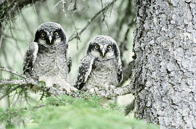 Owlet Photograph - Northern Hawk Owlets by Art Wolfe