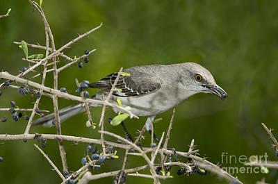 Mockingbird Photograph - Northern Mockingbird by Anthony Mercieca