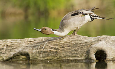 Colourfull Photograph - Northern Pintail  by Mircea Costina Photography