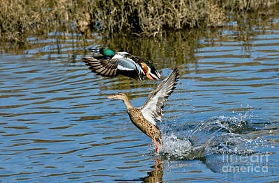 Northern Shoveler Pair Print by Anthony Mercieca