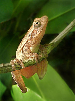 Spring Peepers Photograph - Northern Spring Peeper by William Tanneberger
