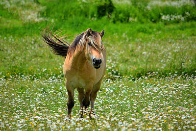 Horse Photograph - Norwegian Daisies by Emily Stauring