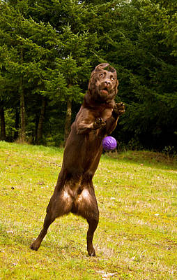 Chocolate Lab Photograph - Nute And The Ball by Jean Noren