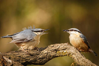 Nuthatch Feeding His Missus Print by Izzy Standbridge
