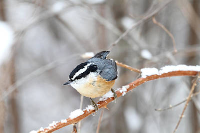 Snowy Trees Photograph - Nuthatch In Winter by Peggy Collins