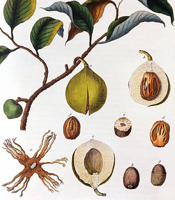 Trade Drawing - Nutmeg Myrsitica Fragrans by Anonymous