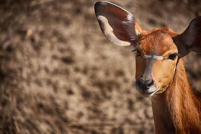 Animal Abstract Photograph - Nyala Beauty by Karol Livote