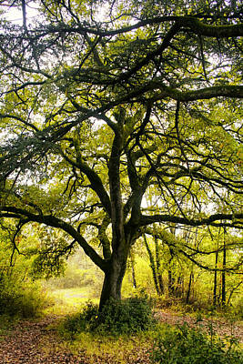Peaceful Symbols Photograph - Oak Tree Branches In Sunlight by Georgia Fowler