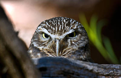 Southwest Desert Photograph - Observant Owl by Dave Dilli