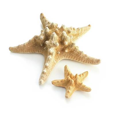 Knobby Photograph - Ochre Sea Star by Science Photo Library