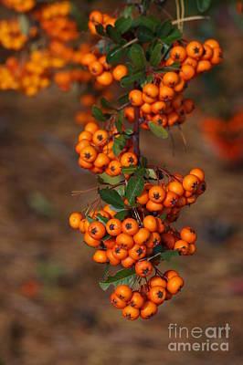 October Berries Print by Zori Minkova
