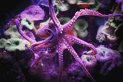 Octopus Photograph - Octopus Israel by Reynold Mainse