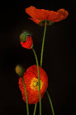 Oriental Poppy Photograph - Odyssey by Toni Chanelle Paisley