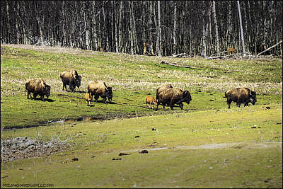Bison Photograph - Oh Give Me A Home Where The Buffalo Roam by LeeAnn McLaneGoetz McLaneGoetzStudioLLCcom