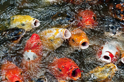 Butterfly Koi Photograph - Oh No Why Must They Feed Us Naked by Wilma  Birdwell