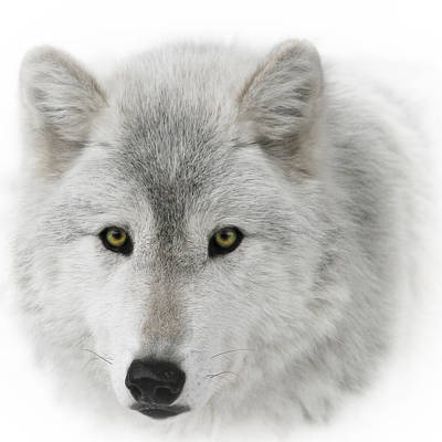 Black. Timber Wolf Photograph - Oh Those Eyes D0425 by Wes and Dotty Weber