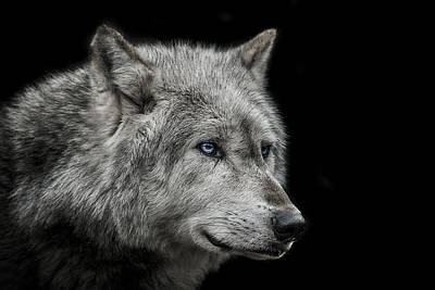 Wolf Photograph - Old Blue Eyes by Paul Neville