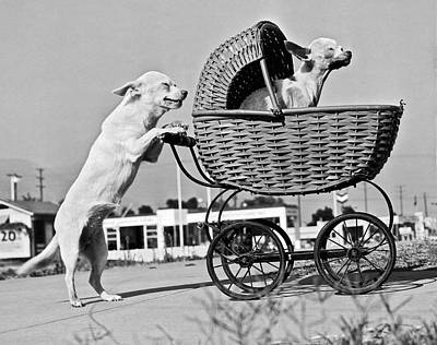 Unusual Animal Photograph - Old Dogs Perform Old Tricks by Underwood Archives