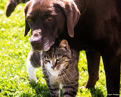 Chocolate Lab Photograph - Old Friends by Roger Wedegis