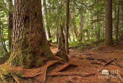 Old Growth Cedar At Cheakamus Lake Print by Adam Jewell