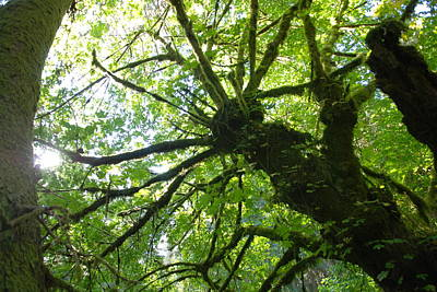 Horizontal Photograph - Old Growth Tree In Forest by Shane Kelly