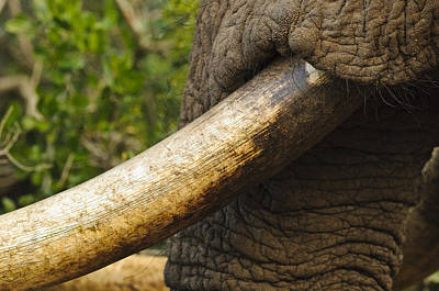 Southafrica Photograph - Old Tusk by Andy-Kim Moeller