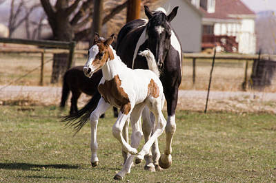 Oldenburg Warmblood Filly Or Foal Print by Piperanne Worcester