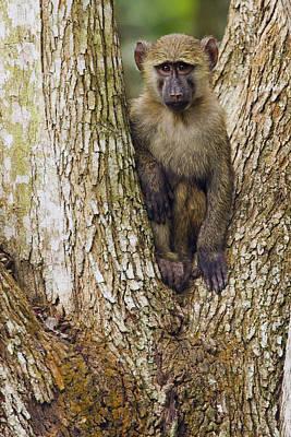 Baboon Photograph - Olive Baboon Juvenile Kibale Np Uganda by Sebastian Kennerknecht