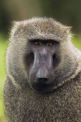 Baboon Photograph - Olive Baboon Male Kibale Np Uganda by Sebastian Kennerknecht