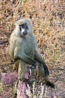 Baboon Photograph - Olive Baboon Papio Anubis by Photostock-israel