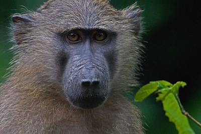 Olive Baboon Print by Stefan Carpenter