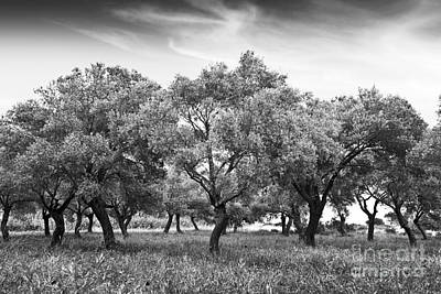 Olive Grove Print by Delphimages Photo Creations