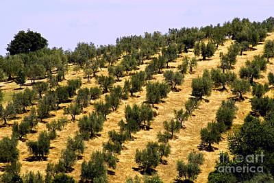 Olea Europaea Photograph - Olive Grove, Italy by Tim Holt