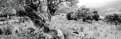 Olive Grove, Majorca, Balearic Islands Print by Panoramic Images
