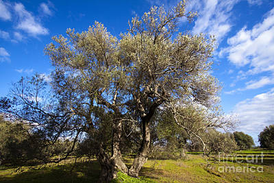 Olea Europaea Photograph - Olive Grove by Tim Holt