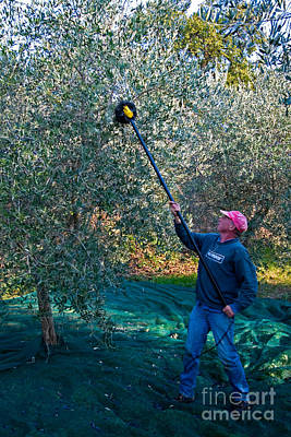 Olea Europaea Photograph - Olive Harvesting, Italy by Tim Holt
