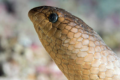 Reptiles Photograph - Olive Sea Snake Head by Louise Murray