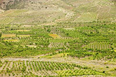 Olive Tree And Orchard Groves Print by Ashley Cooper