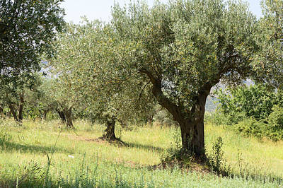Fruit Photograph - Olive Tree by Federico Cimino