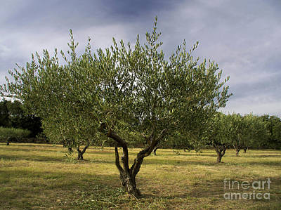 Olive Tree. Provence. France Print by Bernard Jaubert