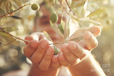 Olives Harvest Print by Mythja  Photography