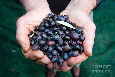 Olea Europaea Photograph - Olives by Tim Holt
