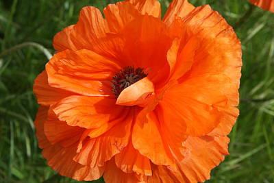 Olympia Orange Poppy Print by Christiane Schulze Art And Photography