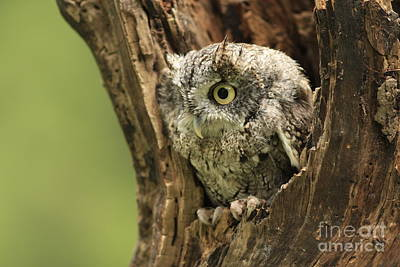 On Alert Eastern Screech Owl In Tree Cavity Print by Inspired Nature Photography Fine Art Photography